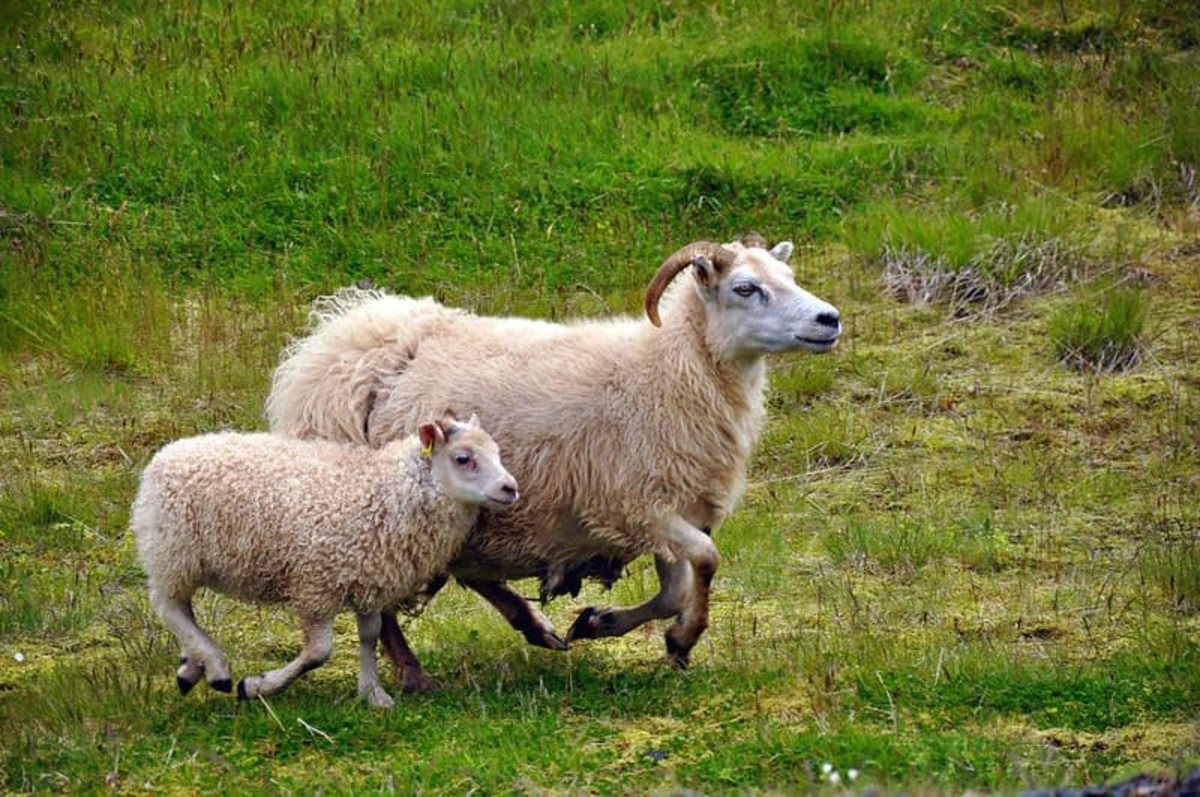 Icelandic sheep are well known internationally for their wool.