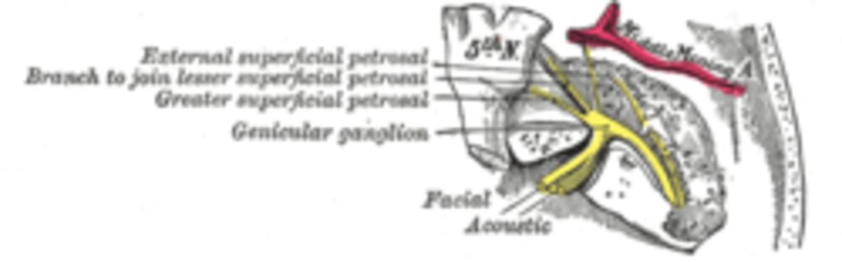 Vestibulocochlear nerve from Gray's Anatomy 1918 edition
