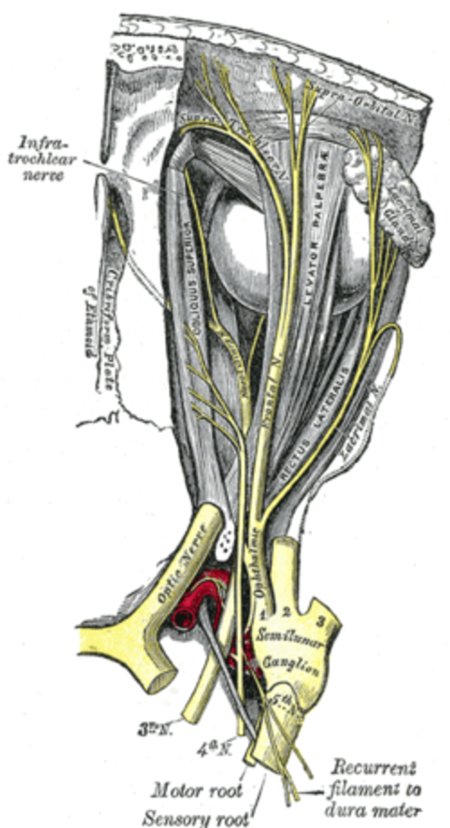 Oculomotor nerve from Gray's Anatomy 1918 edition