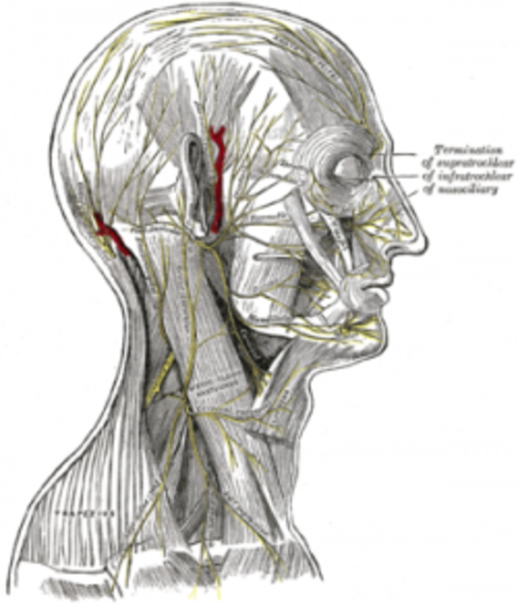 Facial nerve from Gray's Anatomy 1918 edition