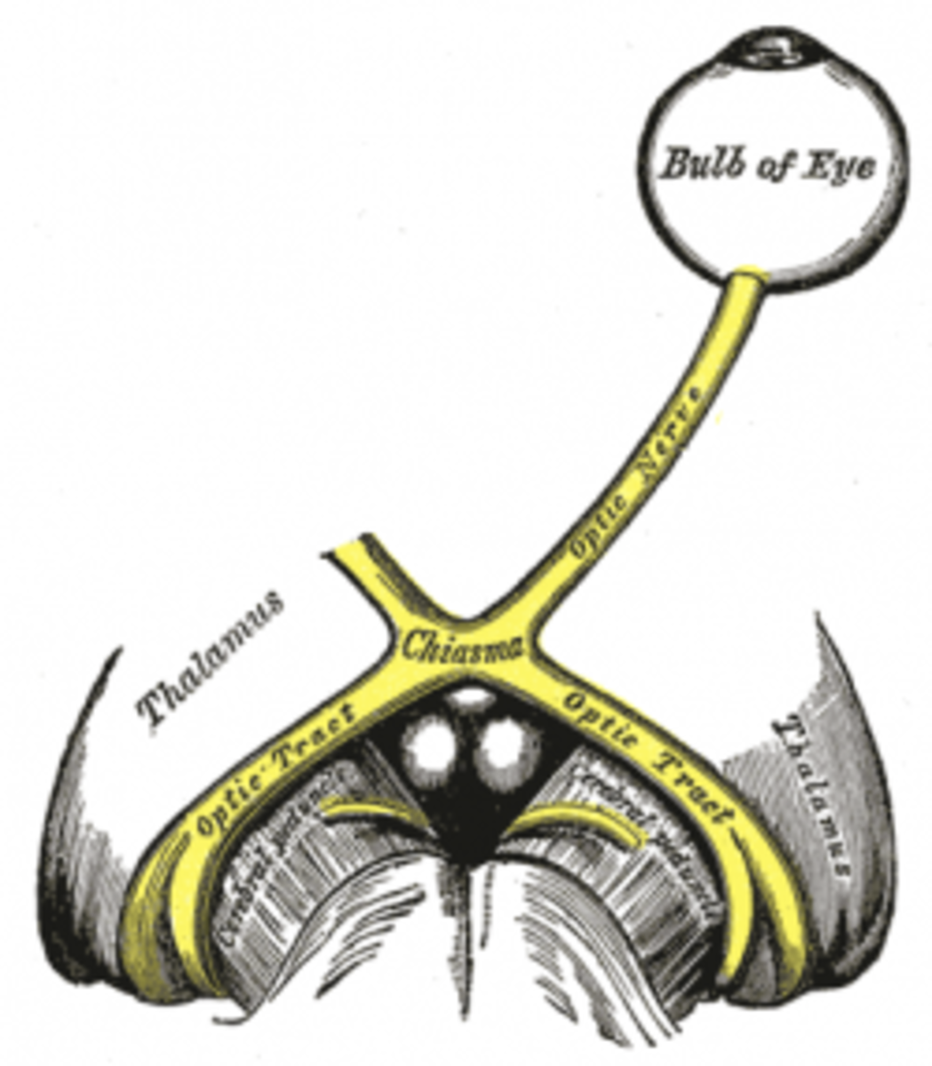 Optic nerve from Gray's Anatomy 1918 edition
