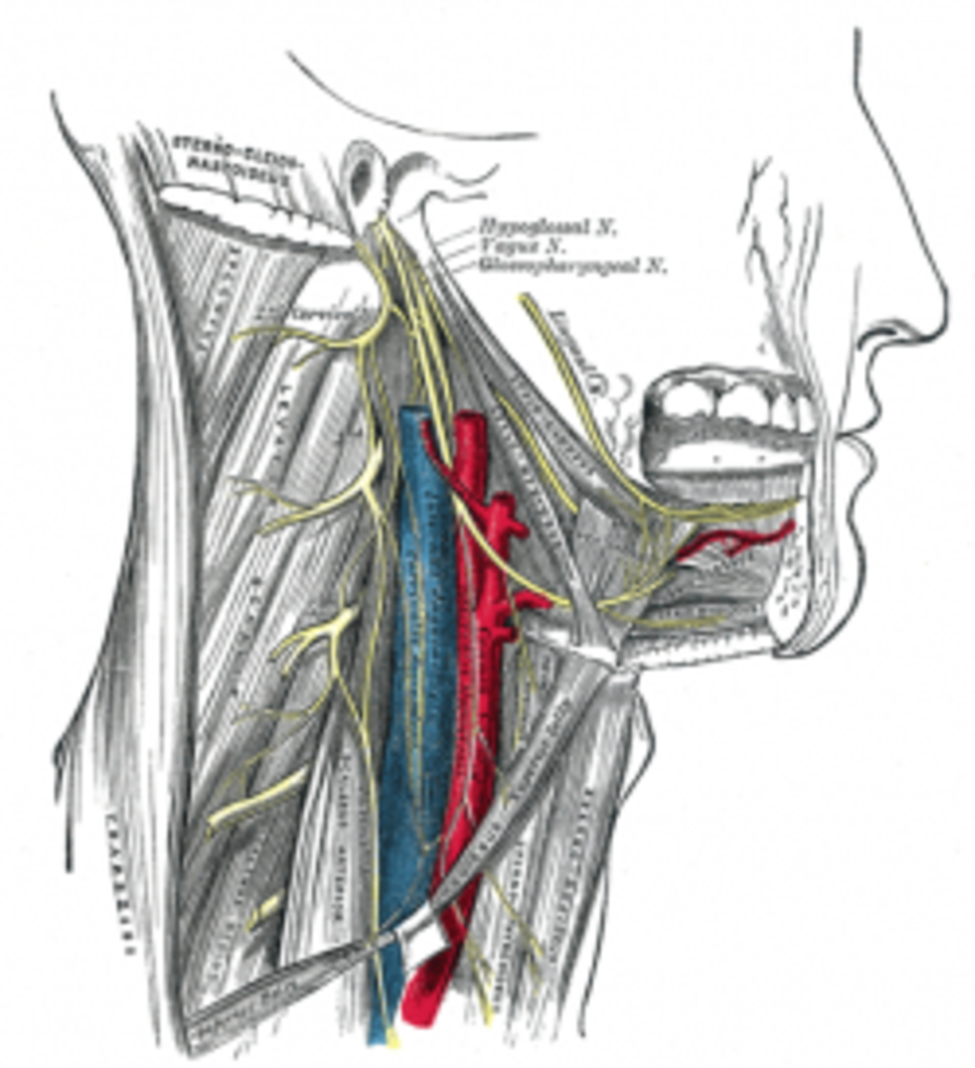 Hypoglossal nerve from Gray's Anatomy 1918 edition