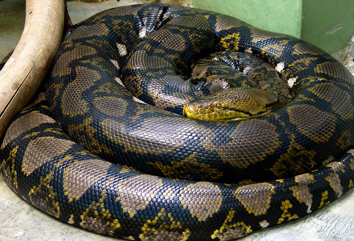 Python - The longest snake in the world is the Python. The Asian Python Reticulates can grow as long as 10  12 metres. Image Credit: Mariluna -   Wikipedia Commons