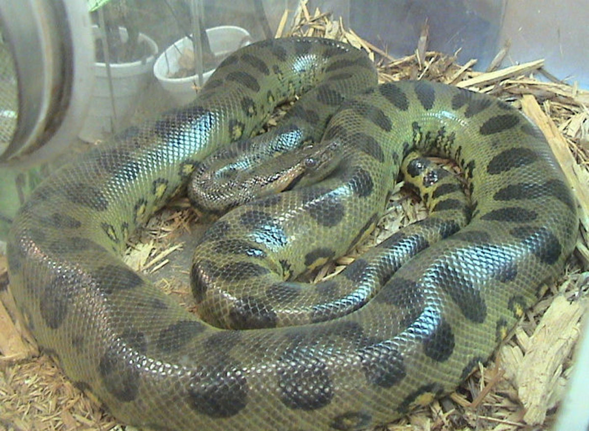 The Green Anaconda - World's biggest snake. Can grow as long as 8 metres long and as wide as a fully grown man and weigh 250 kilogrammes.Image Credit: LA Dawson  Wikimedia Commons
