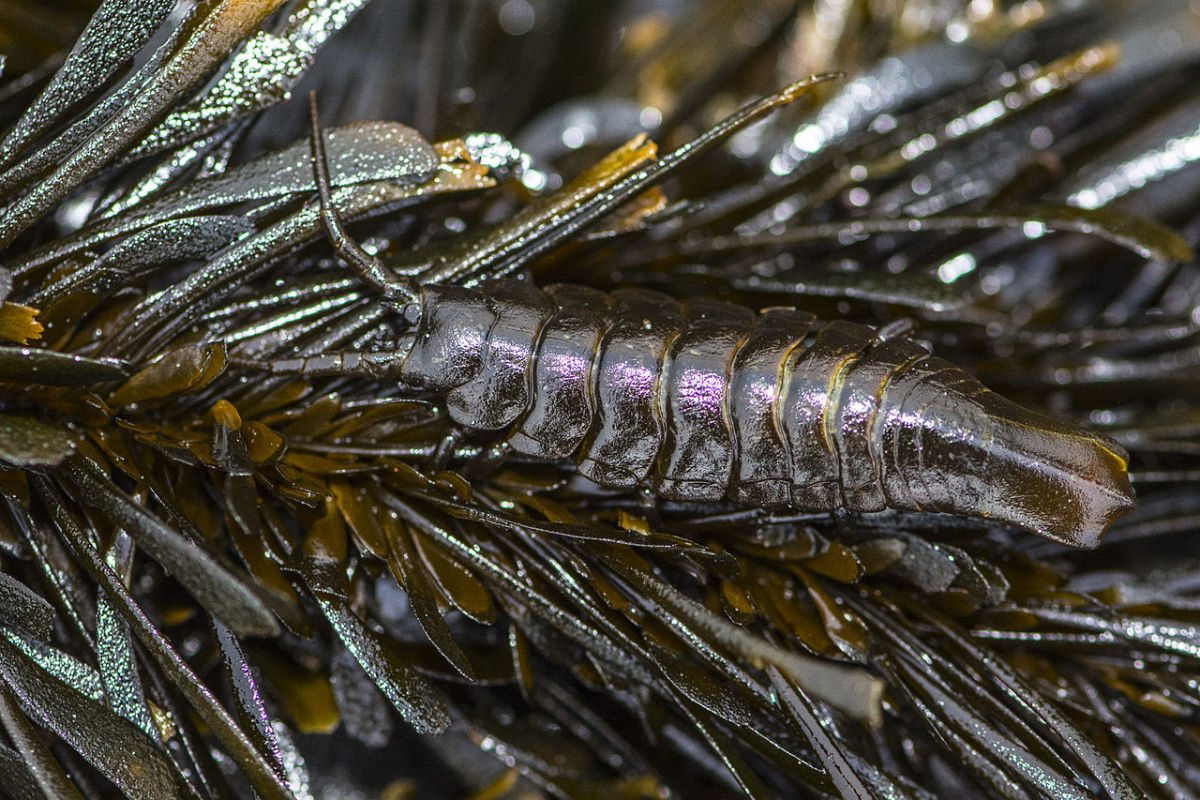 Pentidotea stenops is an isopod that lives in seaweed. This one is well camouflaged. The animal lives on the west coast of North America.