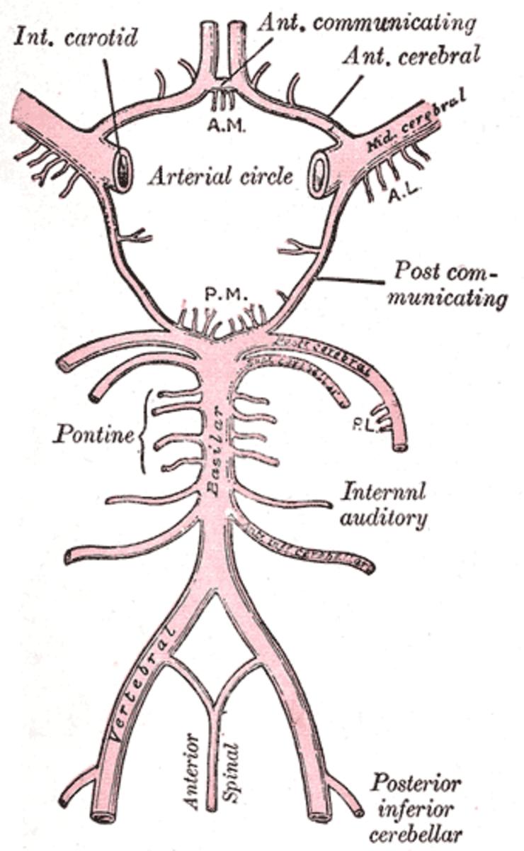 human-anatomy-lesson-16
