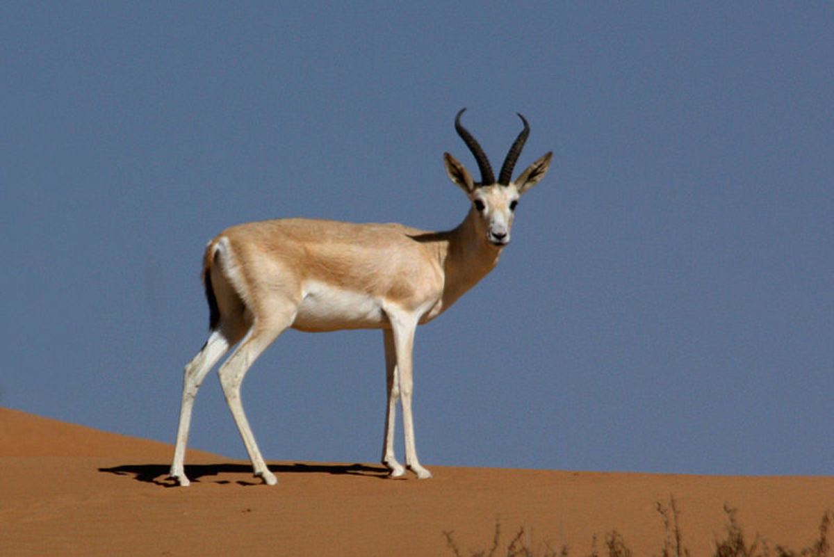 Arabian sand gazelle (Gazella marica) in the Dubai Desert Conservation Area, UAE.