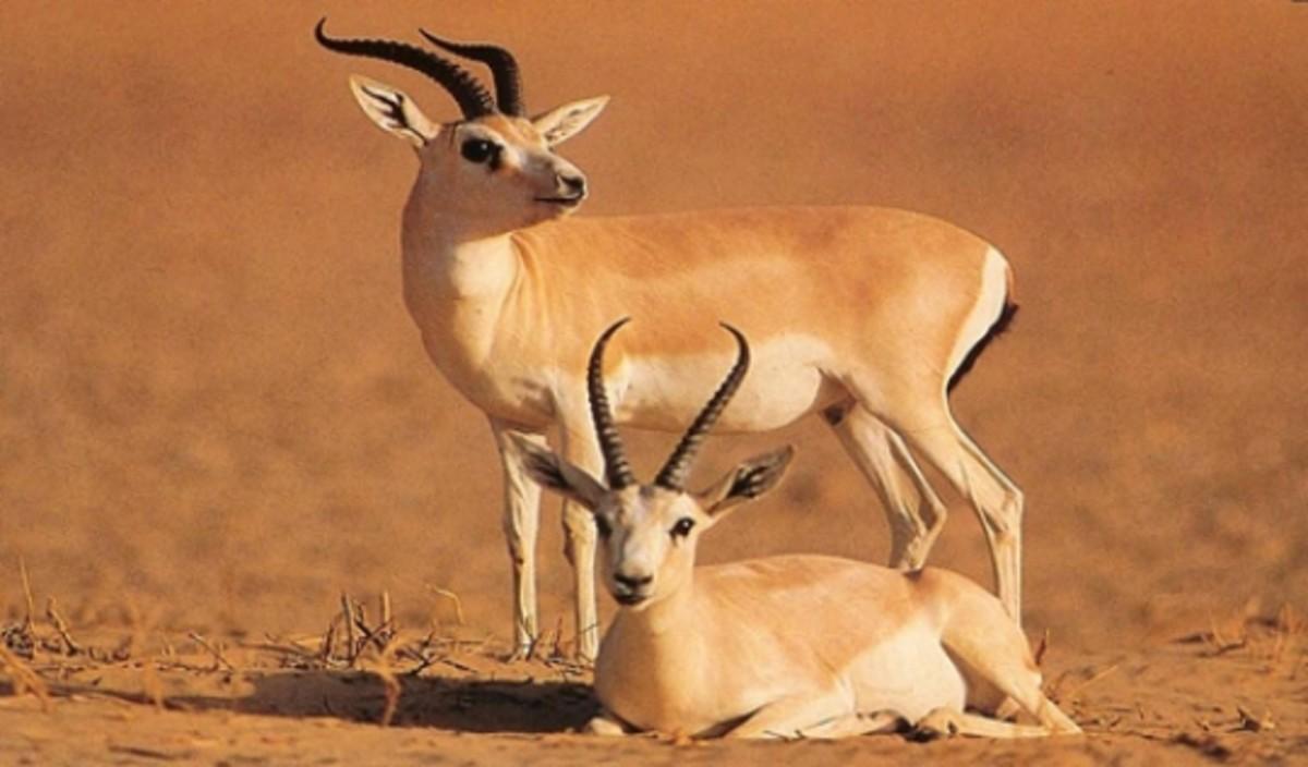 Males Sand Gazelle.