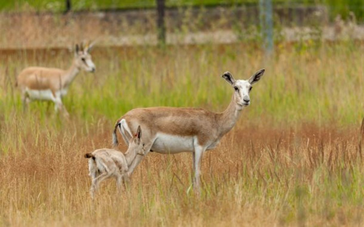 goitered-gazelle-history-facts-and-efforts-to-recover-it