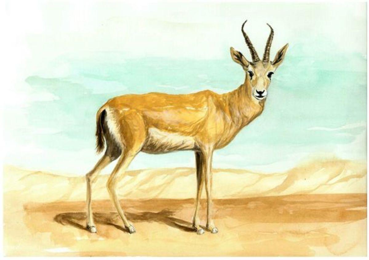 Male Goitered Gazelle.