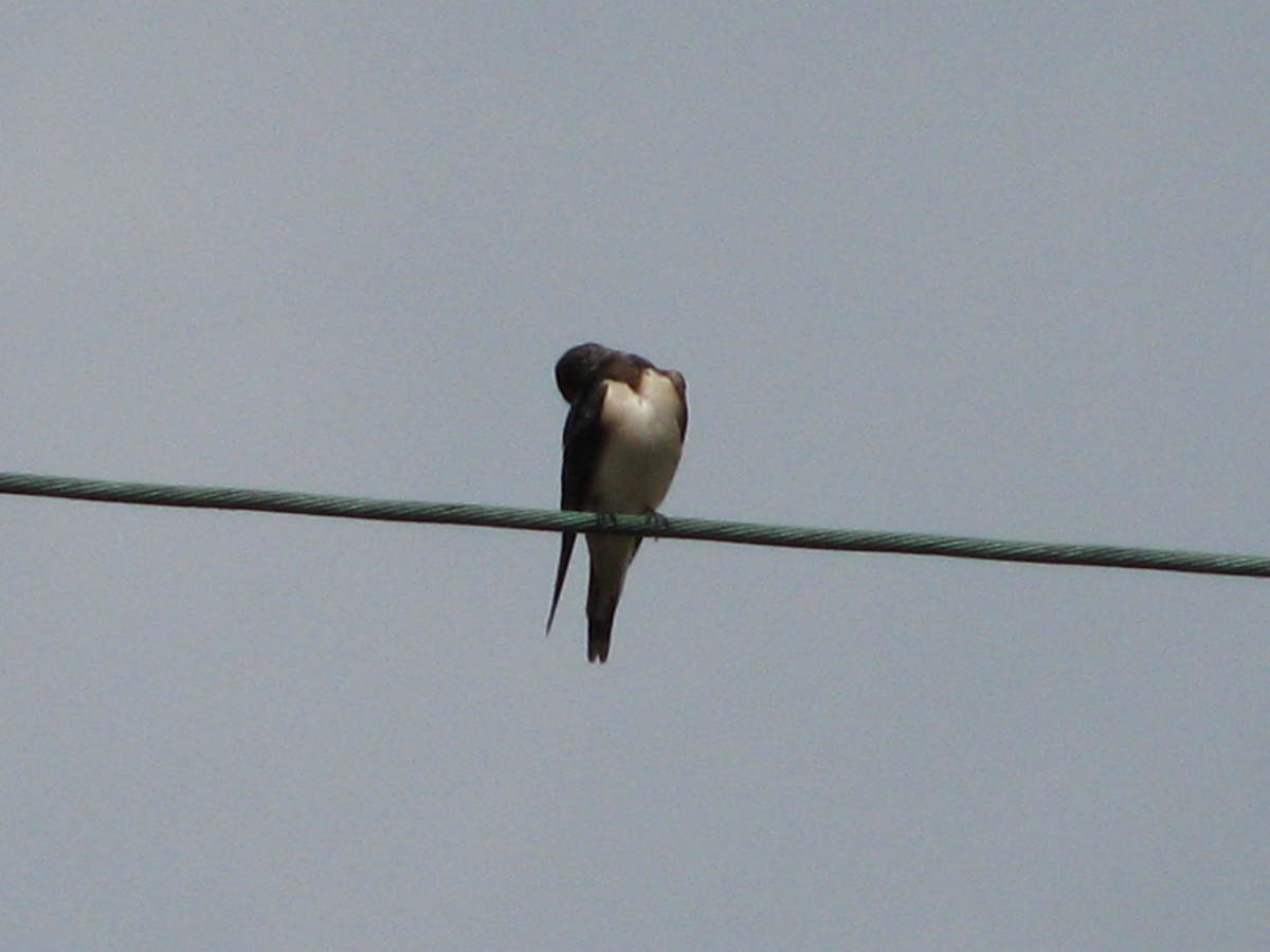 Swallow on the wire