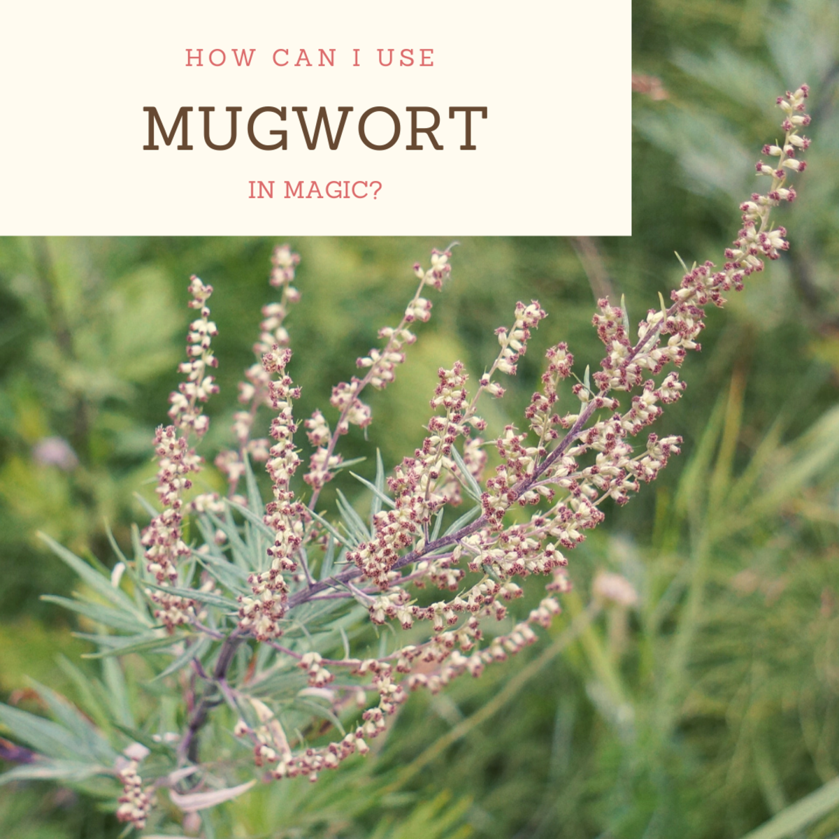 Mugwort has been used in many ways throughout history, but it should be used with caution.
