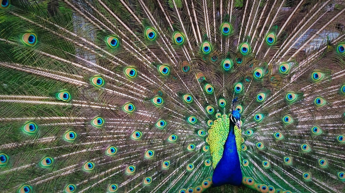 Peacocks Are Naturally Beautiful. Imitating Them Is Unnaturally Ugly -- Especially When Done by Friends