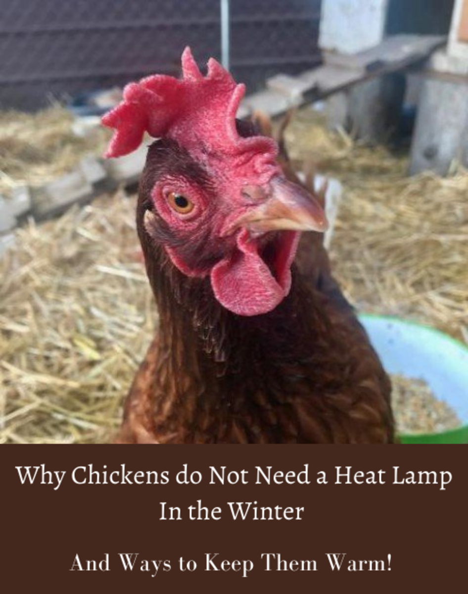why-your-chickens-do-not-need-a-heat-lamp
