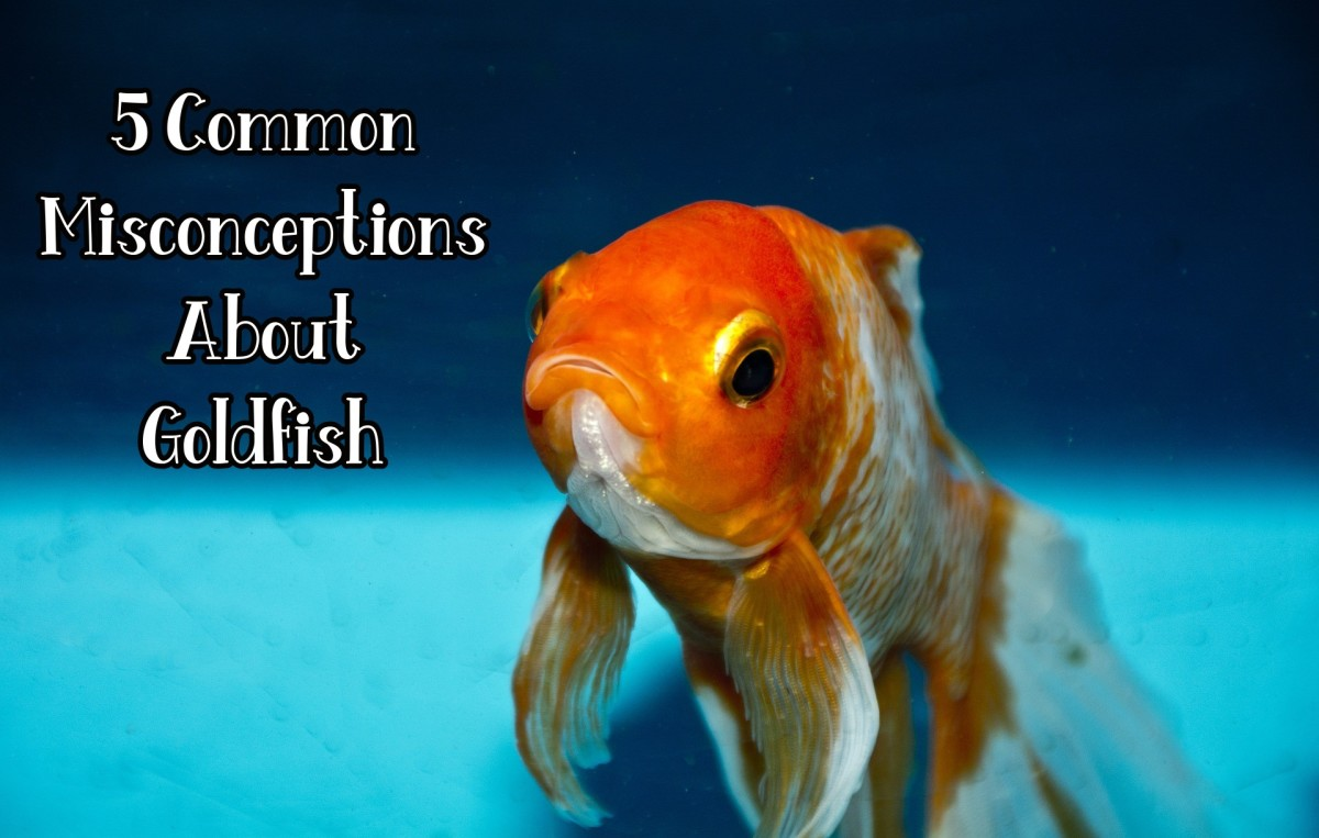 common-misconceptions-about-goldfish