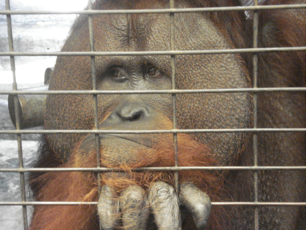 And who can blame him? But actually he is 1000% better off than some in Ranugan Zoo, Indonesia.
