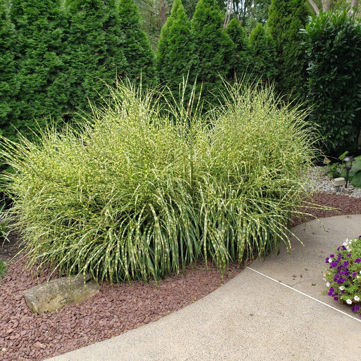 Zebra grass growing in my friend's yard.