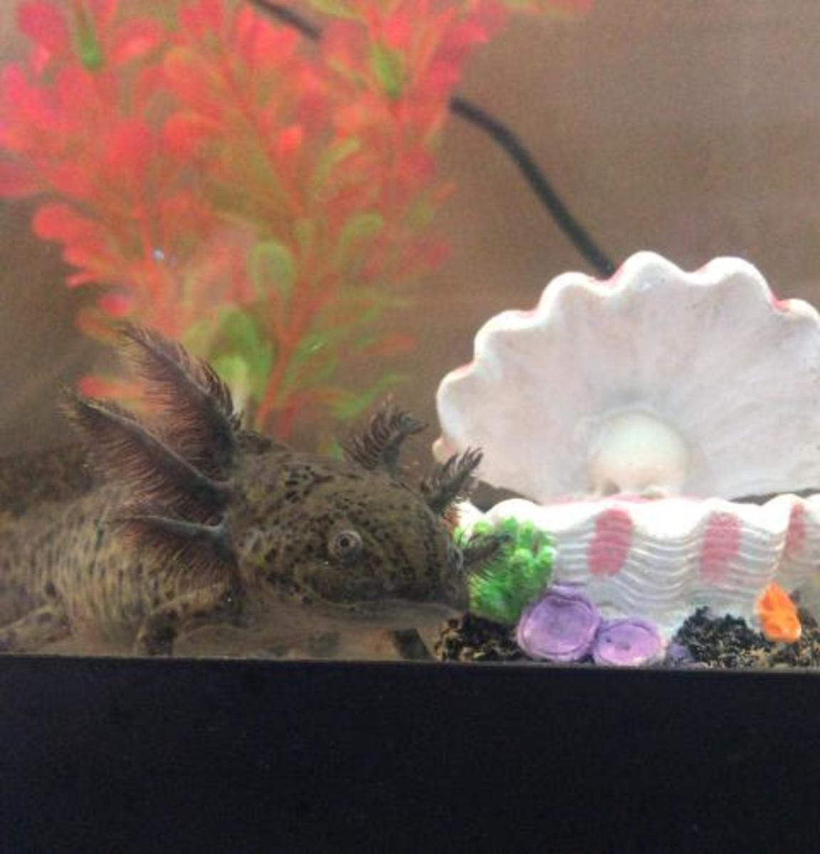 My young wild type axolotl would swim around all the time.