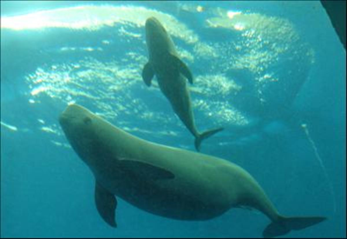 A dolphin and calf