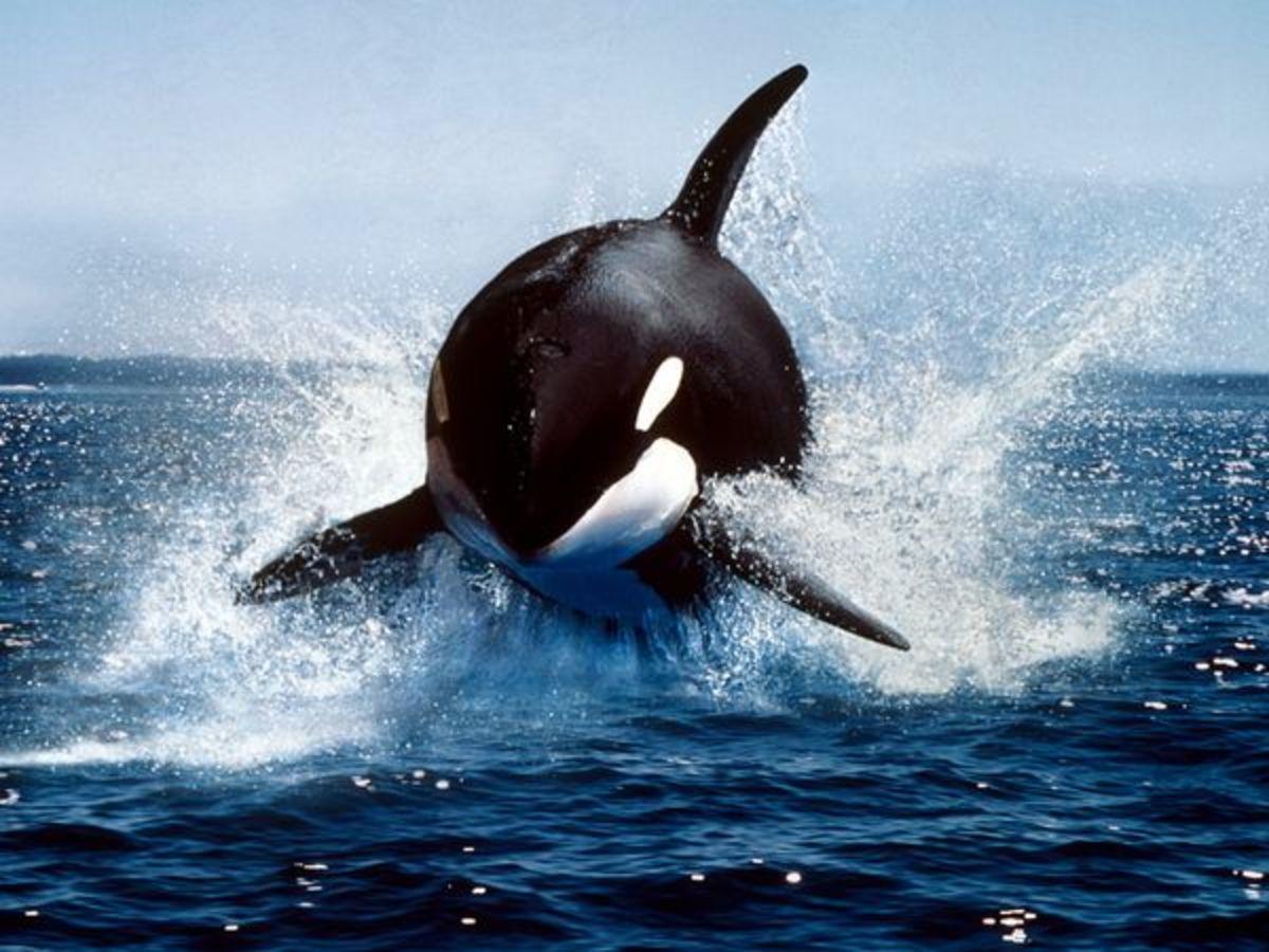 A killer whale
