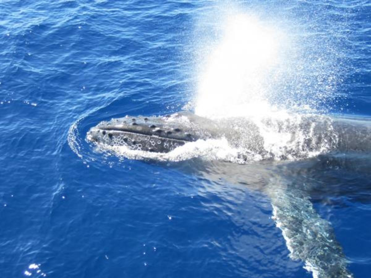 A humpback whale coming up to breathe
