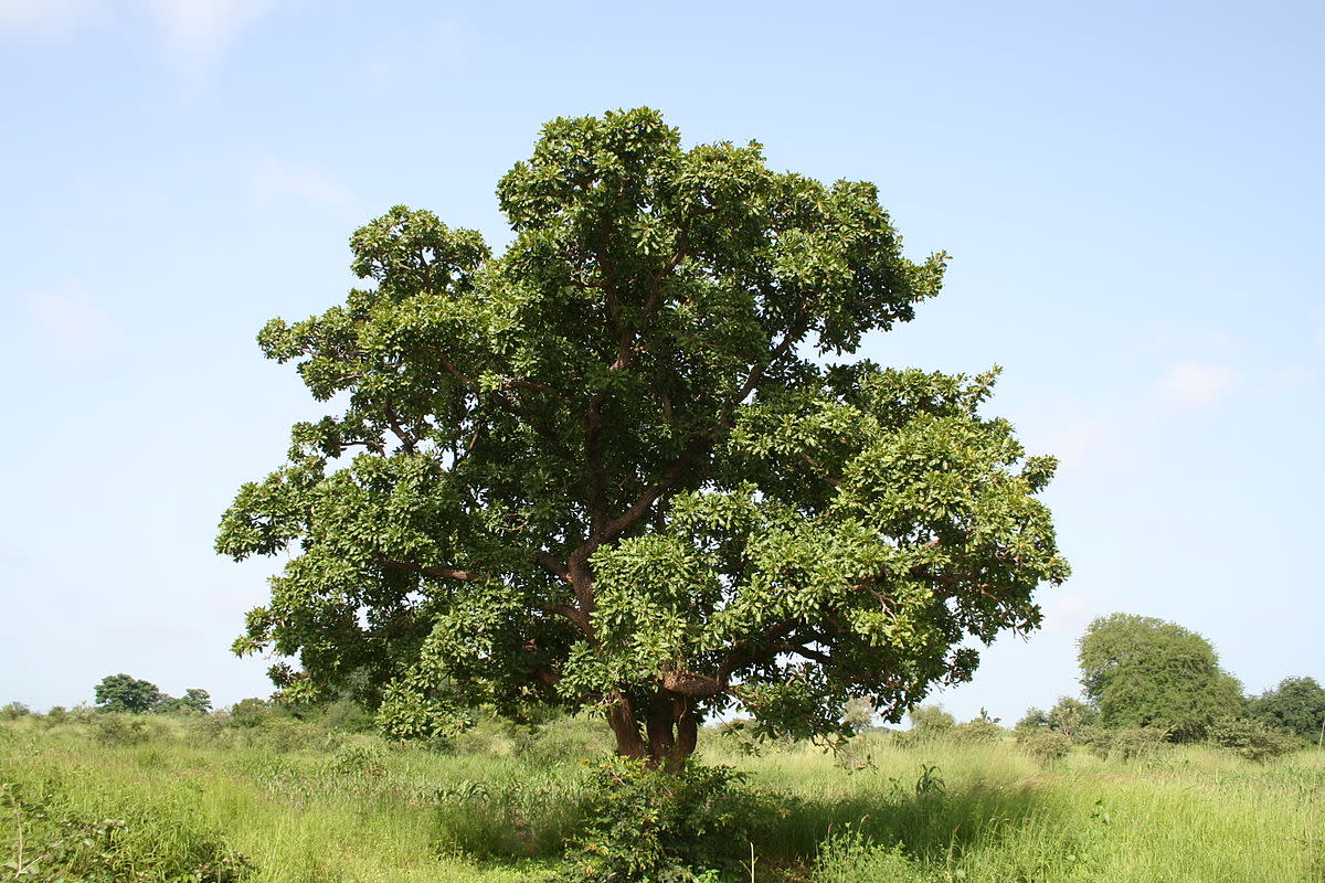 Facts about the Shea Tree and Shea Butter