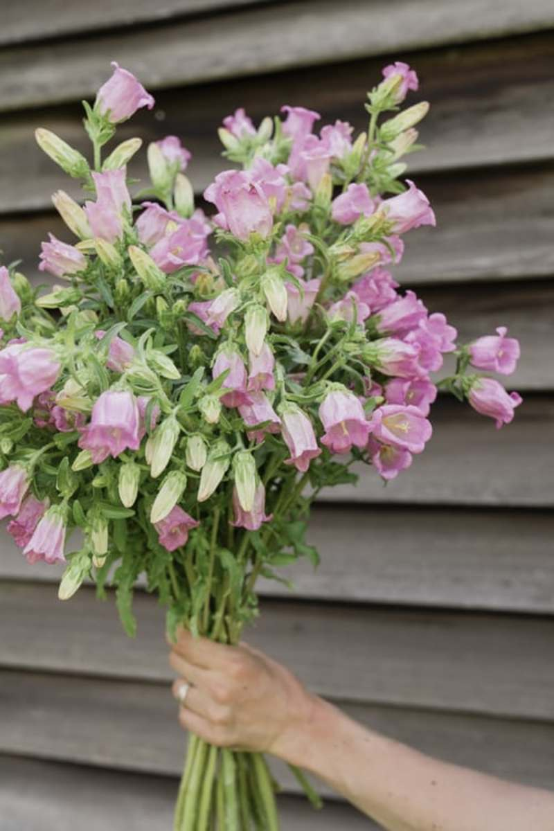 Canterbury bells can be used as cut flowers.