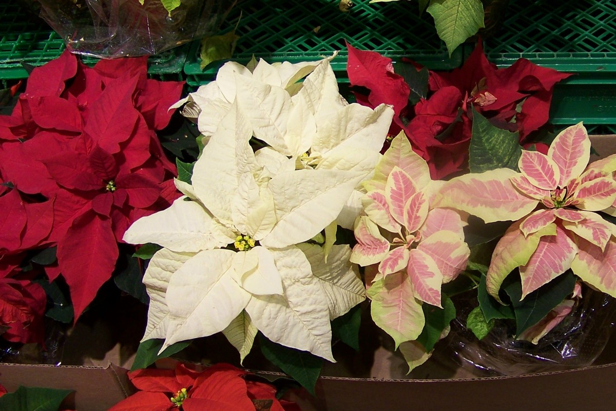 Poinsettias: Selection, Care and Propagation