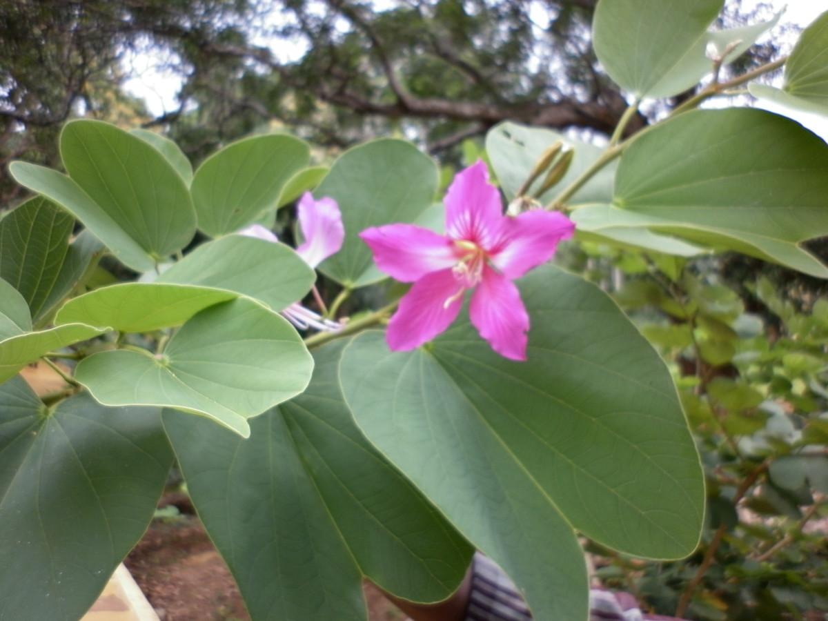 The bilobed leaves