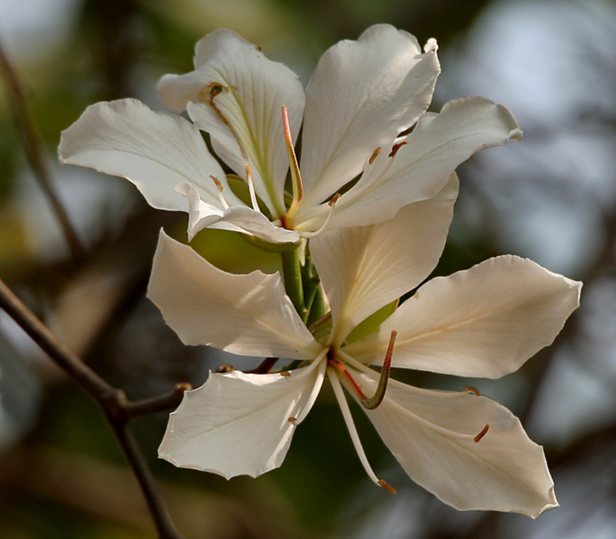 The white flowered variety of kachnar