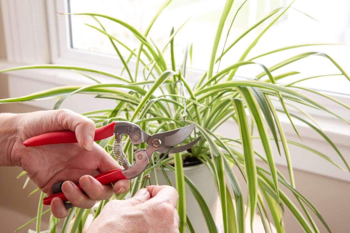 how-to-grow-a-spider-plant-chlorophytum-comosum