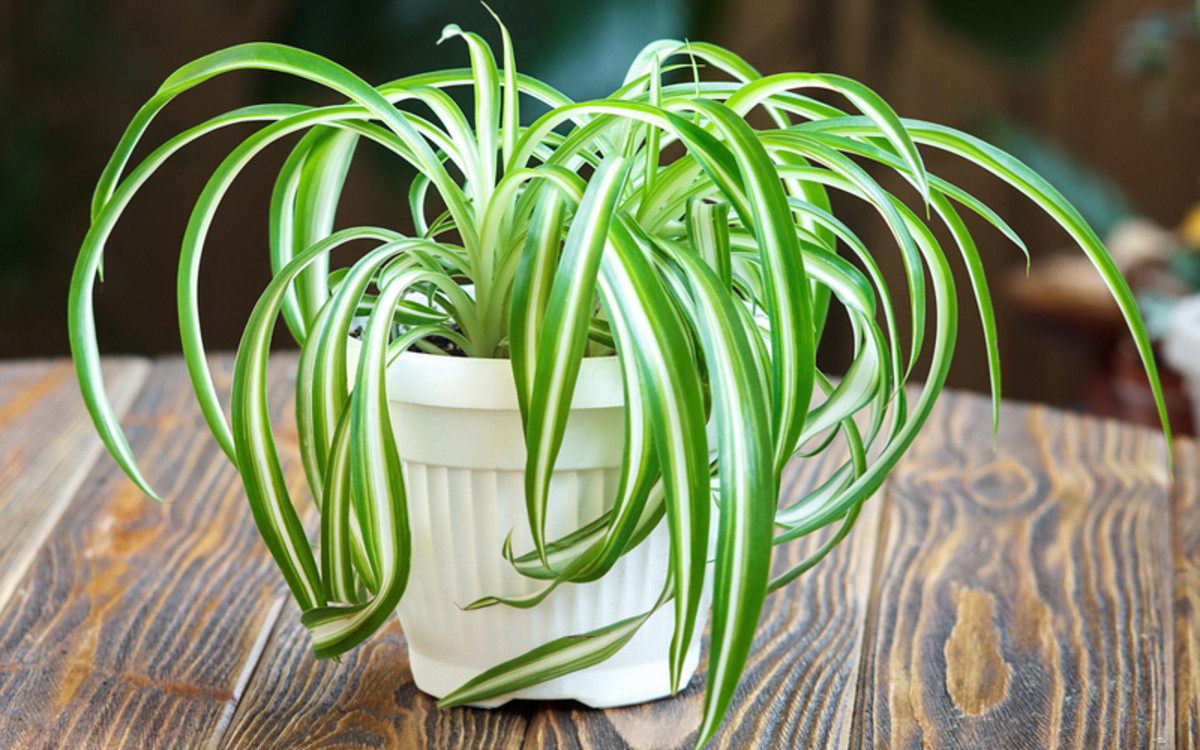 SPIDER PLANT PROPAGATION FOR THE BEGINNERS