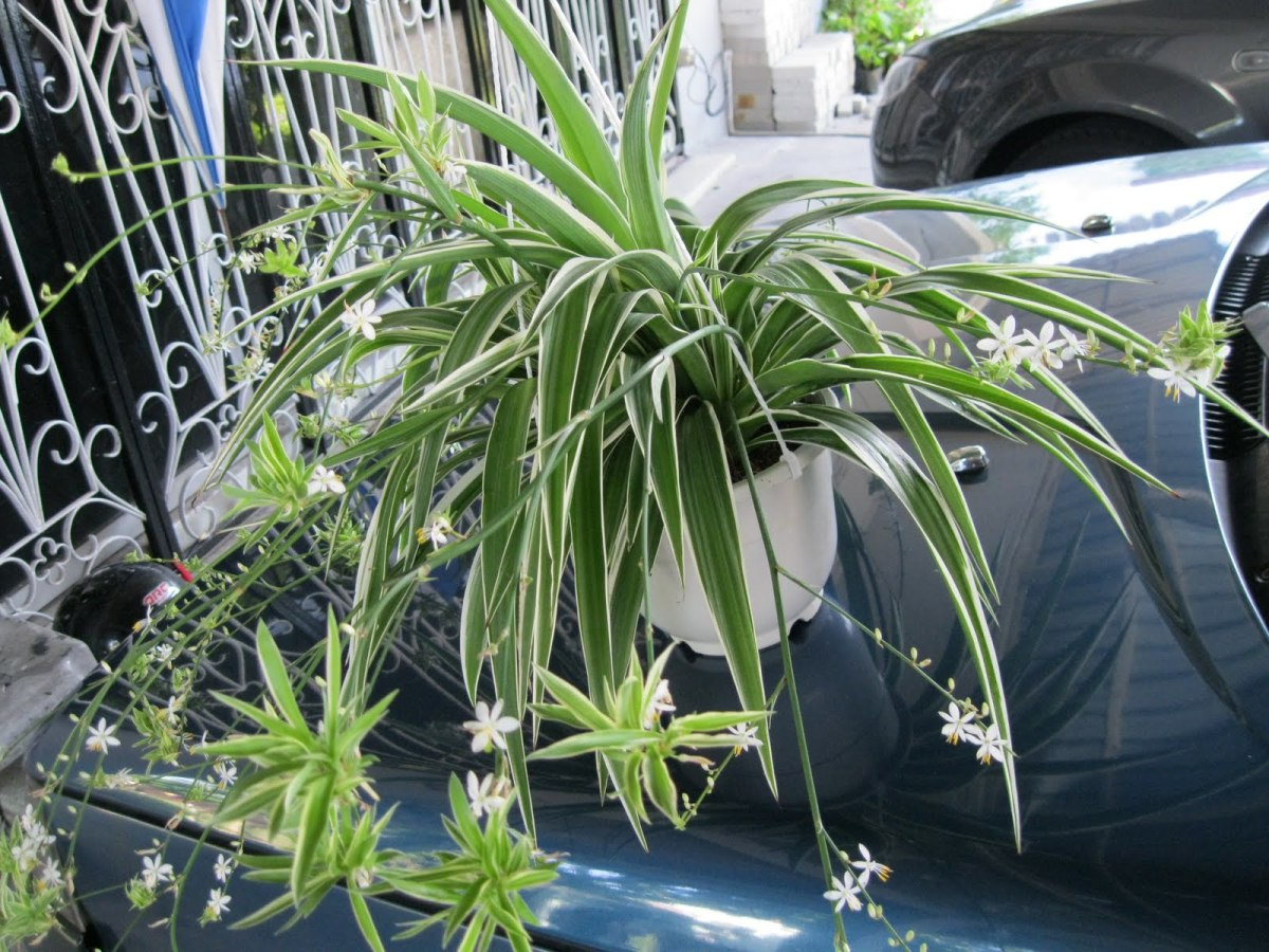 Flowers of Spider Plant