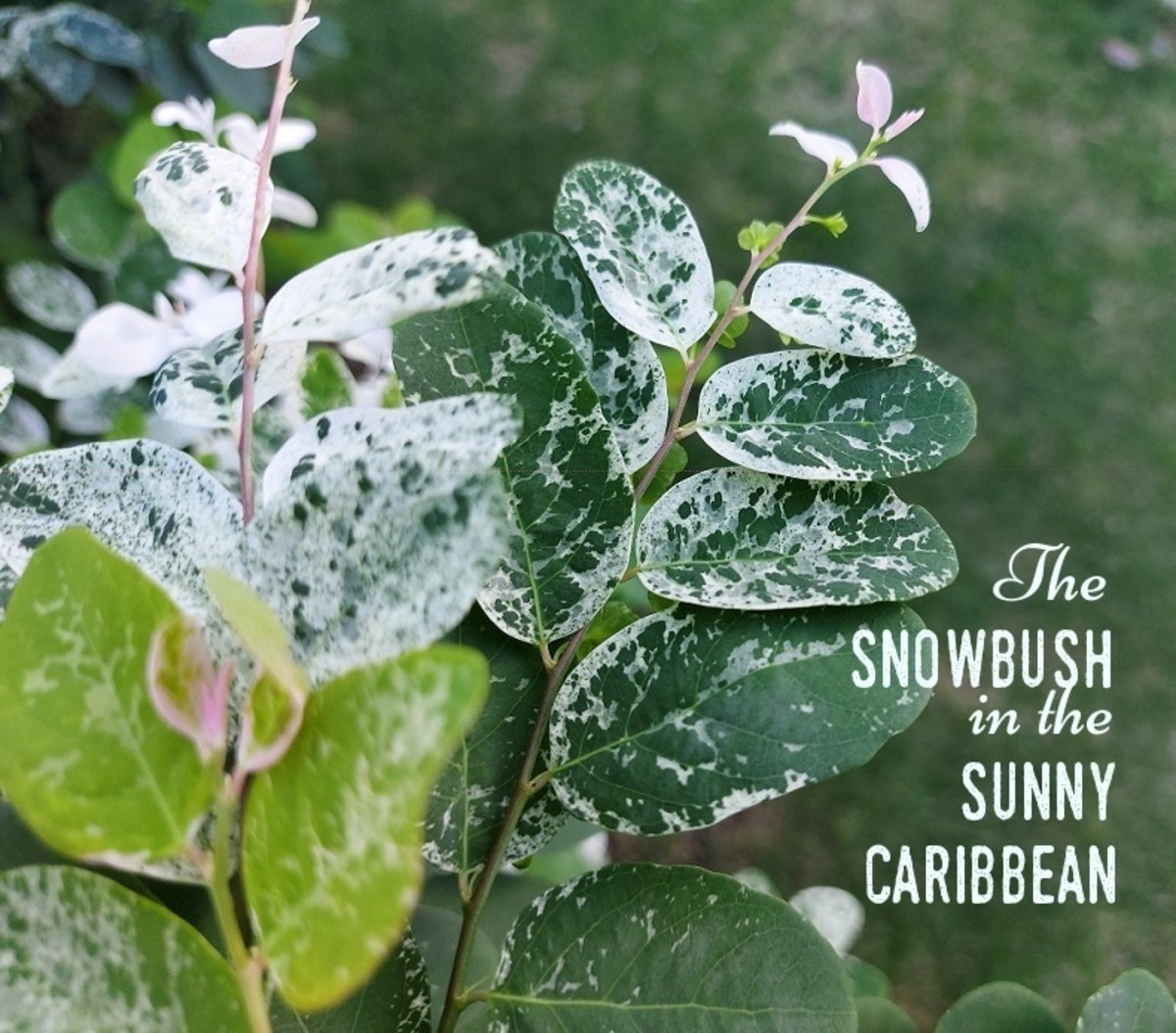 The snowbush was known as old man's beard in my childhood neighborhood.