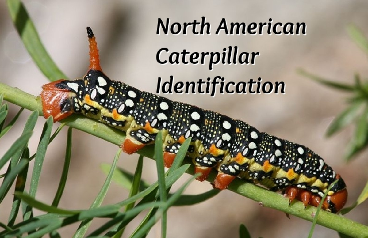 caterpillar-identification