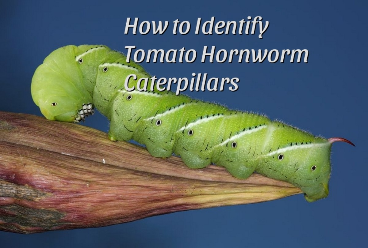 How to Identify and Control Tomato Hornworm Caterpillars