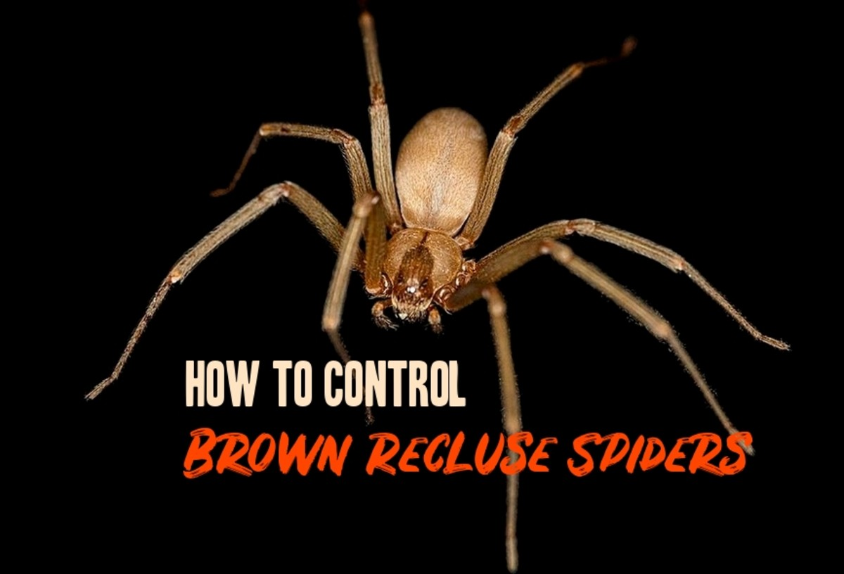 Brown Recluse Spider Non-Toxic Control