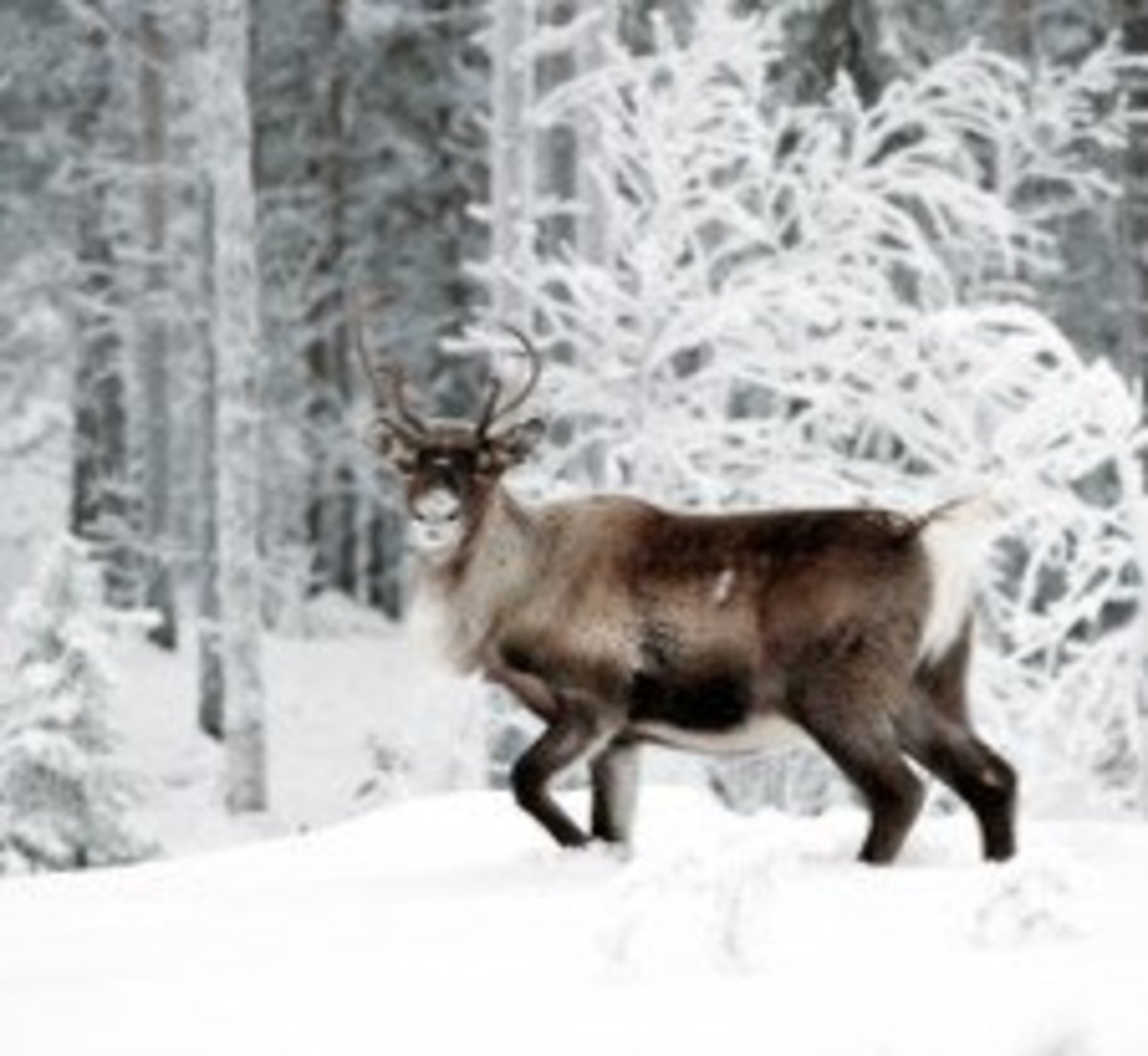 Reindeer live in coldest regions of the world.