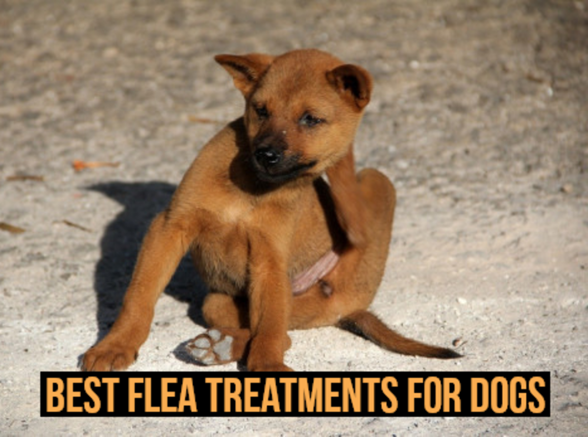 For my recommendations regarding flea treatments for dogs, please read on...