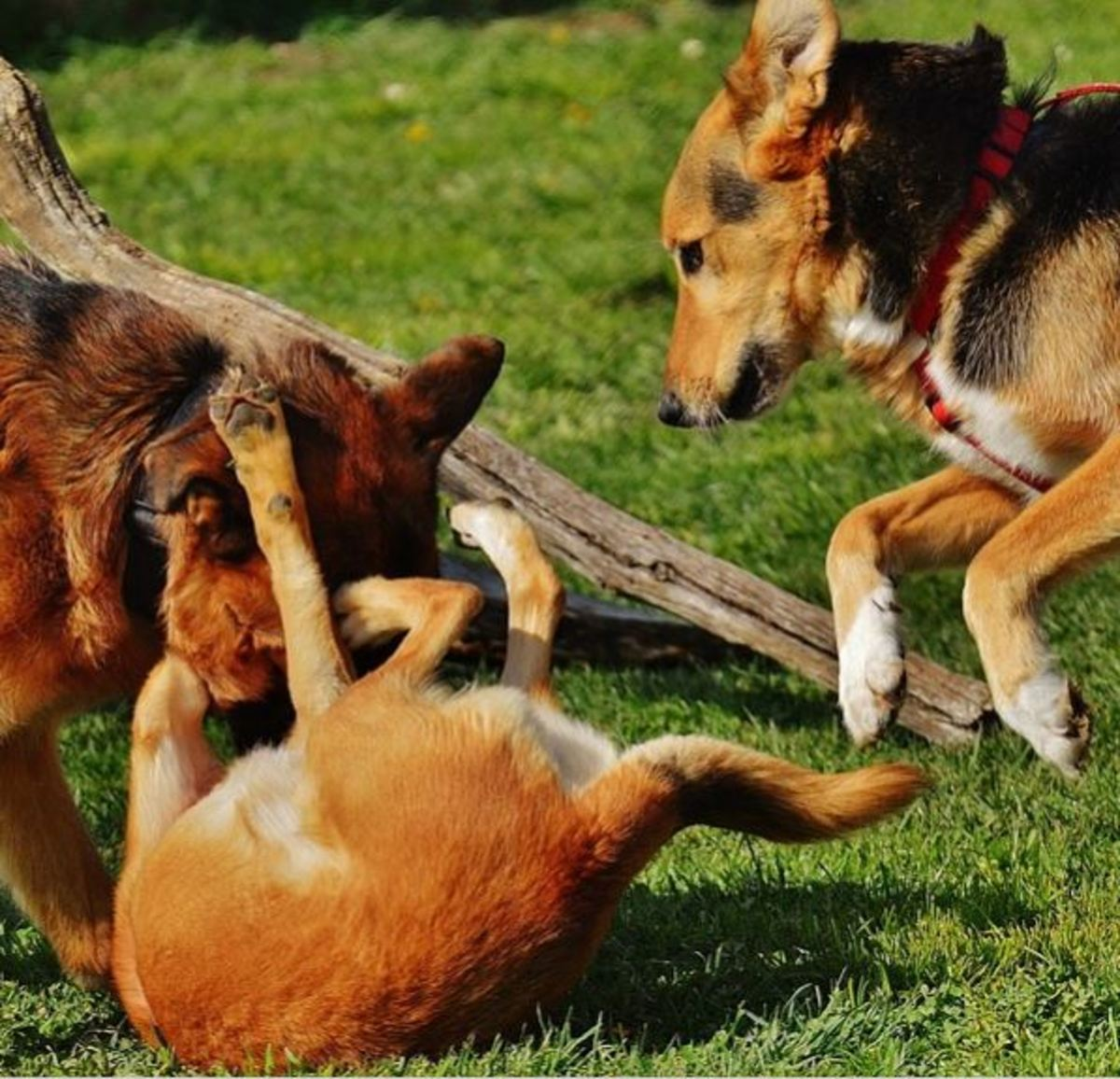 If you have helpers, have them prevent any other dogs from joining in to prevent a multiple dog fight.