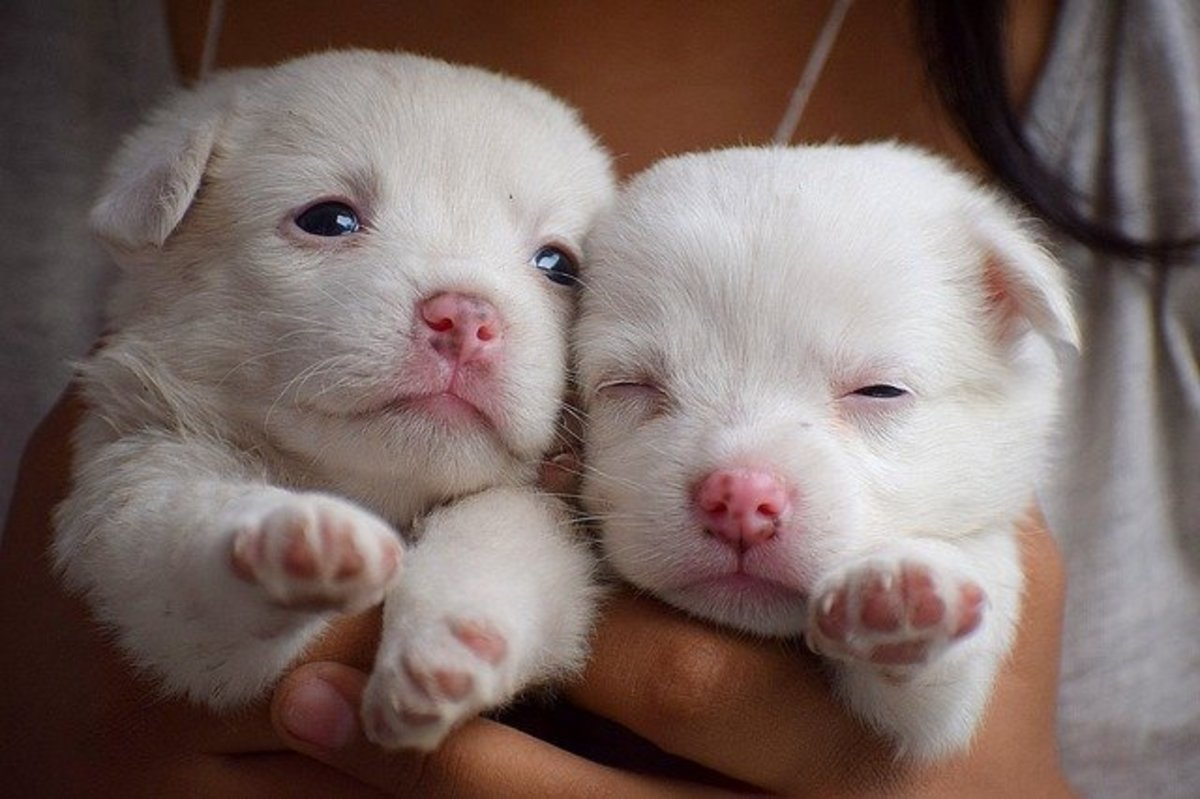 Good breeders start handling their puppies from an early age.