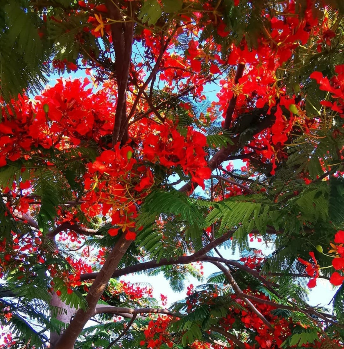 Flower in Flame tree | Archana Das