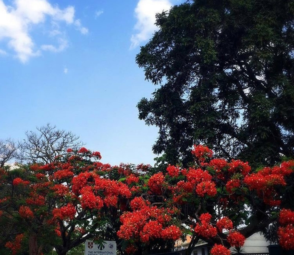 Beautiful flowers in Flame tree | Archana Das