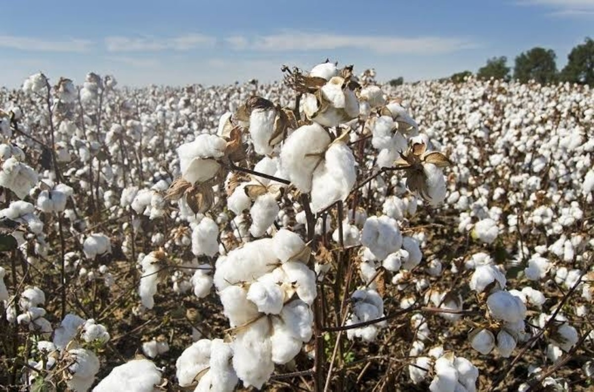 Cottonseed flowers has medicinal properties