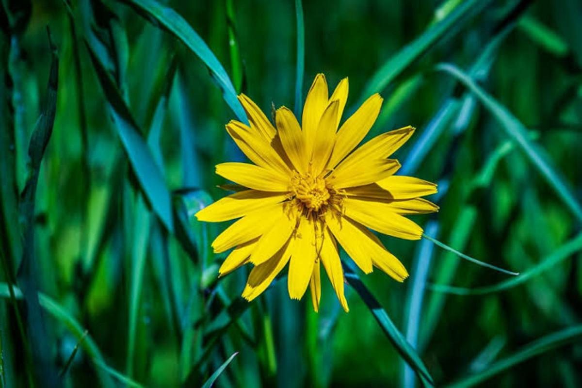 Arnica Flower for Medicinal Properties
