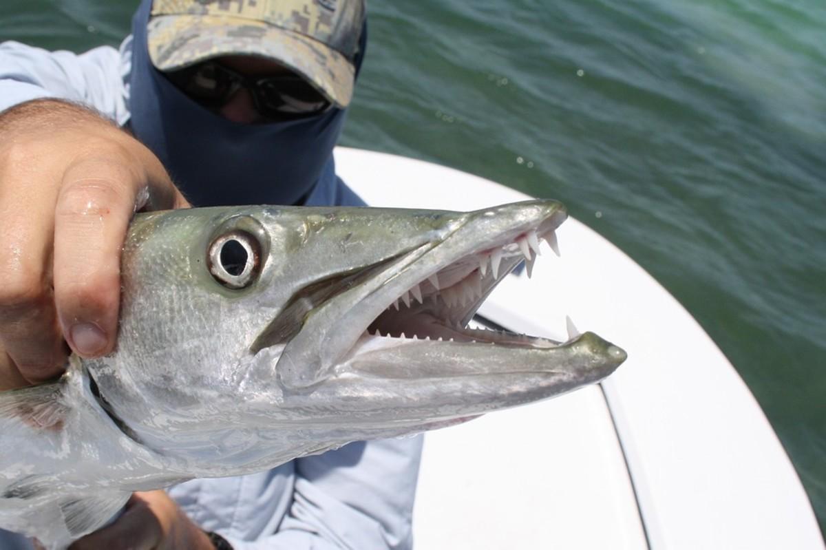 A toothy barracuda.