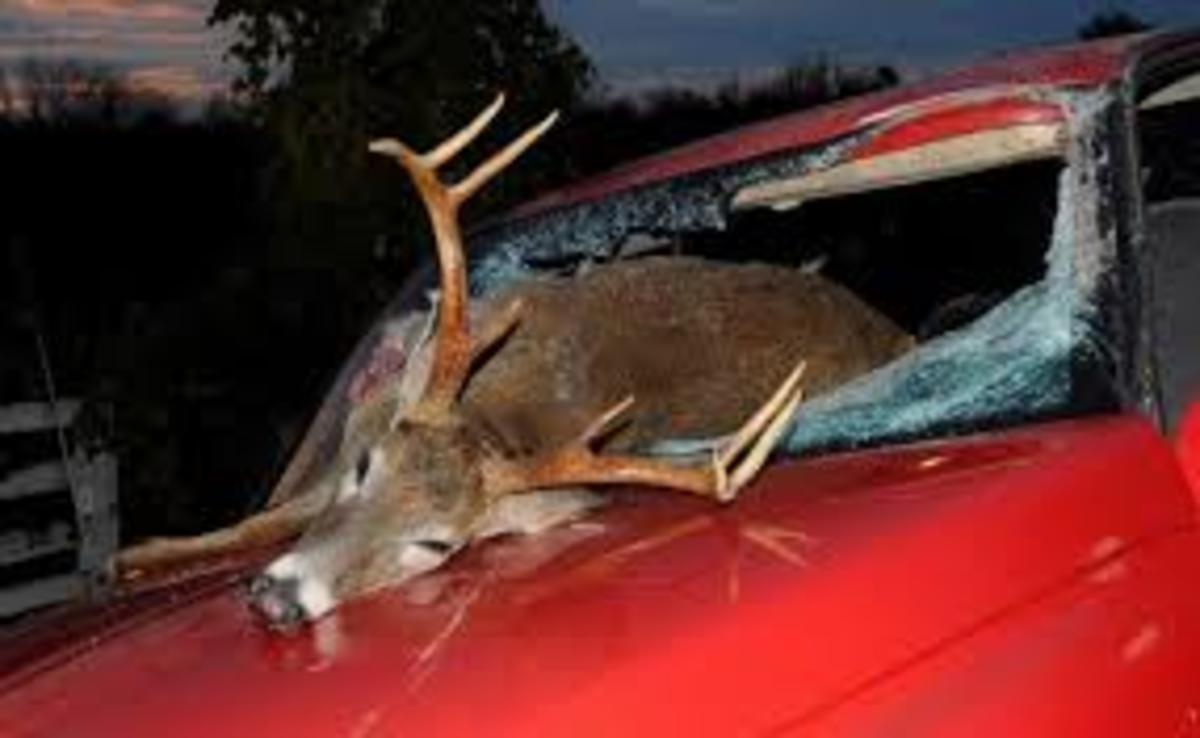 Deer Collision