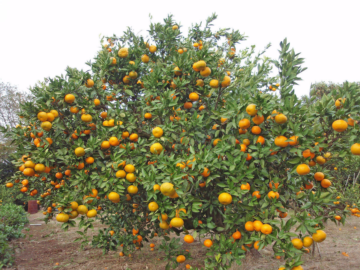 Facts About the Orange Tree - Description, Types & Uses