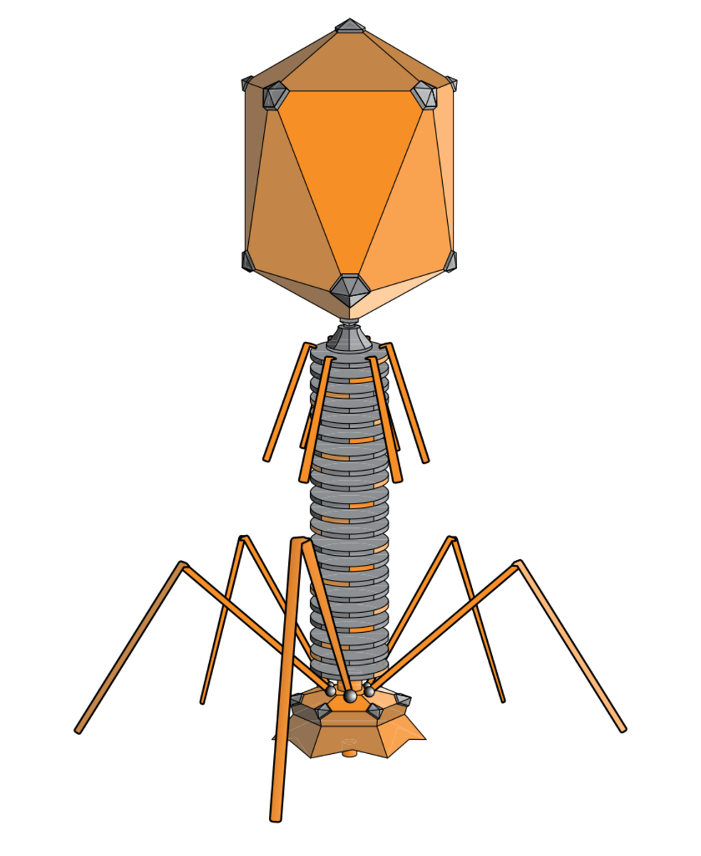 A phage is a virus that attacks bacteria, not human cells, but one type might play an indirect role in type 1 diabetes.