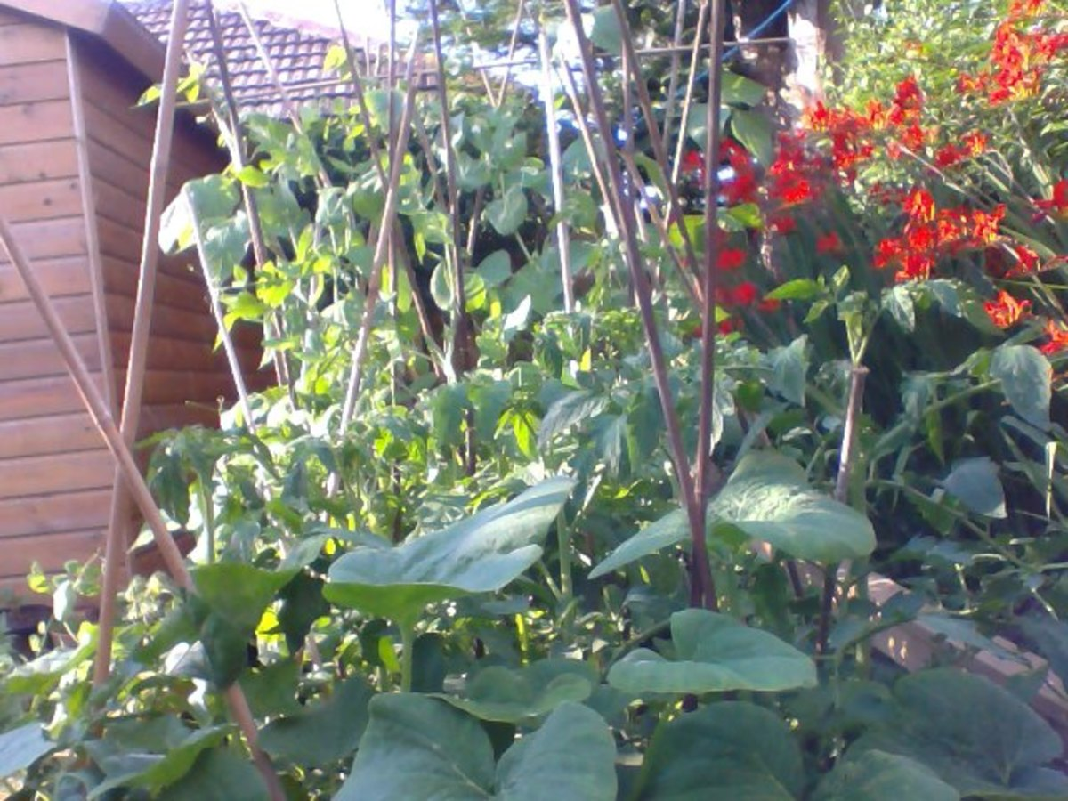 These are my vegetable plants on my raised-bed now. Very useful indeed.